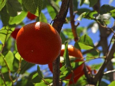mandarinier_bio